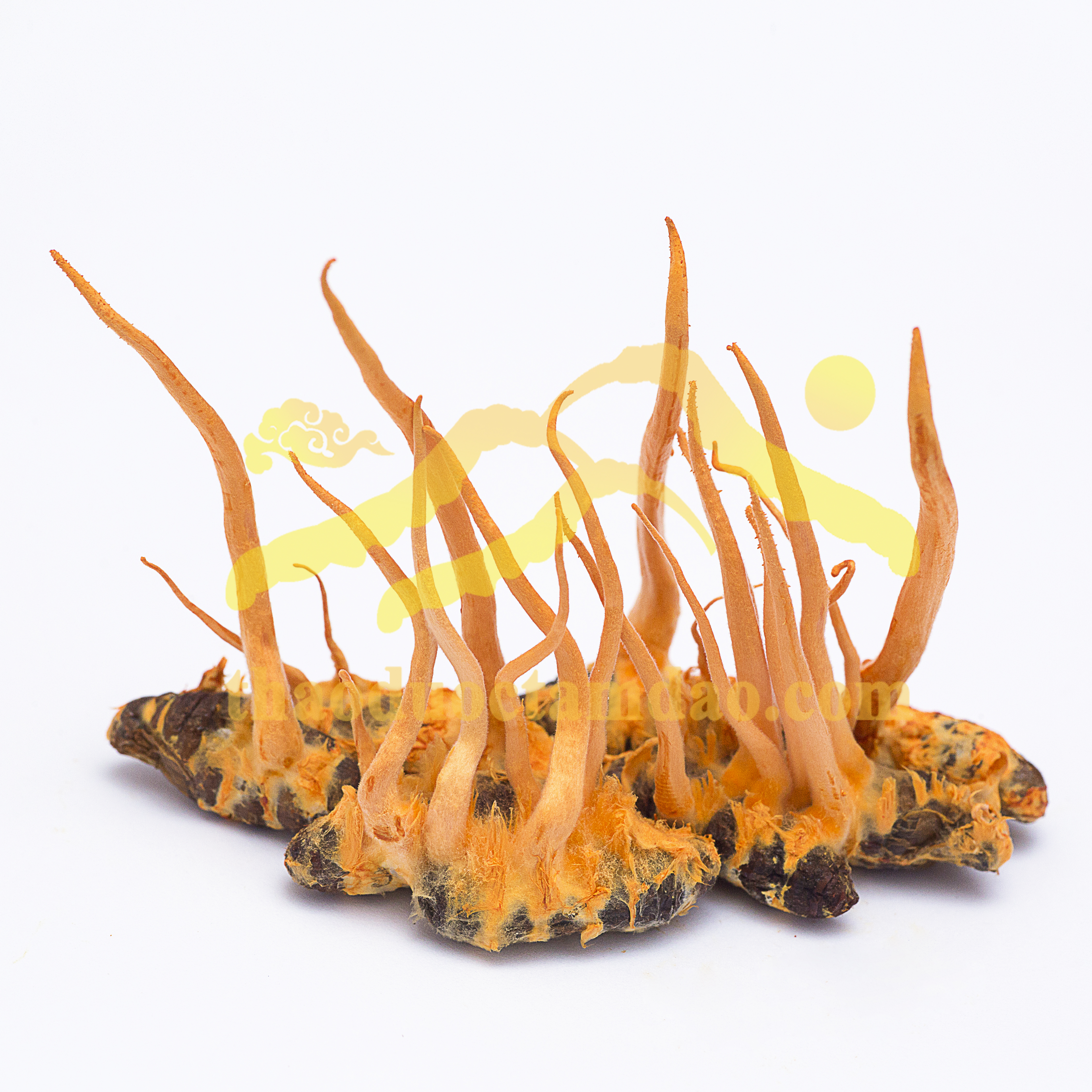 Đông trùng hạ thảo Tam Đảo - ký chủ nhộng tằm tươi